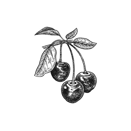 Cherry. Realistic vector illustration berries. Hand drawing fruit, leaf, branch isolated on white background. For decoration of cosmetics, foods, products for health, beauty. Vintage black and white Ilustracja