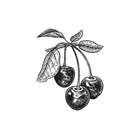 Kirsche. Realistische Vektorillustration Beeren. Übergeben Sie die Zeichnungsfrucht, Blatt, Niederlassung, die auf weißem Hintergrund lokalisiert wird. Zur Dekoration von Kosmetika, Lebensmitteln, Produkten für die Gesundheit, Schönheit. Vintage schwarz und weiß Standard-Bild - 81377030