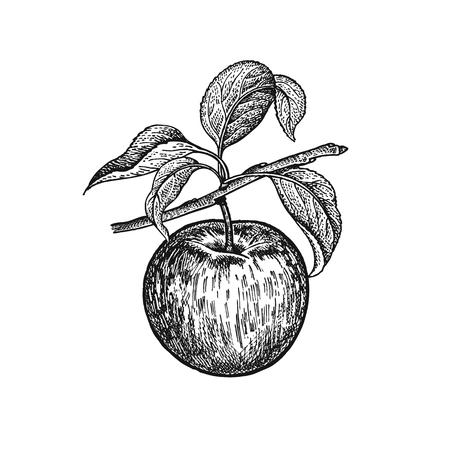 사과. 현실적인 벡터 그림 공장입니다. 손을 그리기. 과일, 잎, 흰색 배경에 고립 된 트리의 분기. 건강과 미용 제품을위한 장식. 빈티지 블랙 화이트 조 일러스트