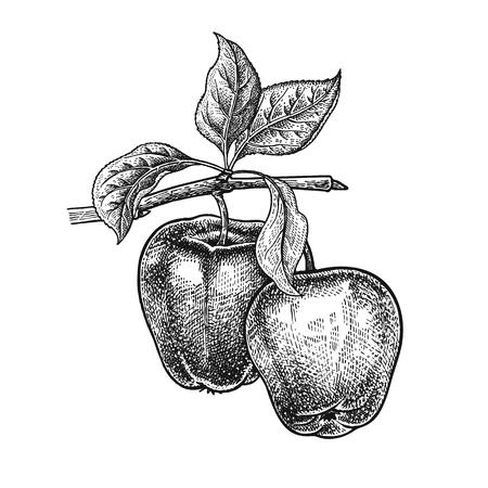 사과의 현실적인 벡터 일러스트 레이 션. 과일, 잎, 흰색 배경에 고립 된 트리의 분기. 건강과 미용 빈티지 블랙 화이트 조각을위한 제품 장식 일러스트