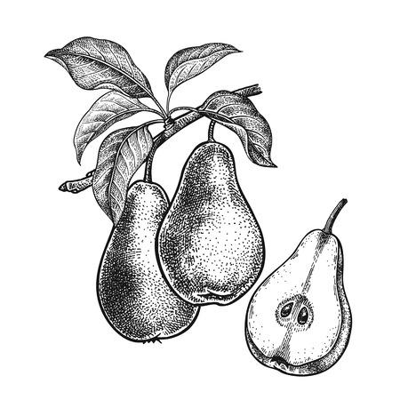 Peren. Realistische vector illustratie fabriek. Handtekening. Fruit, blad, tak van boom op witte achtergrond wordt geïsoleerd die. Decoratie voor producten voor gezondheid en schoonheid. Vintage zwart witte gravure.