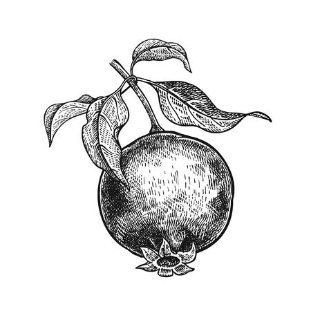 Granaat. Realistische vector illustratie plant. Handtekening. Fruit, blad, tak van boom op witte achtergrond wordt geïsoleerd die. Decoratie voor producten voor gezondheid en schoonheid. Vintage zwart witte gravure. Stock Illustratie