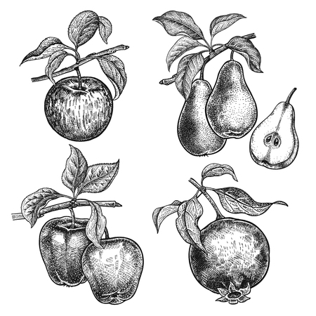 Apples, garnet and pears. Realistic vector illustration plants. Hand drawing. Fruit, leaf, branch isolated on white background. Decoration for products for health and beauty. Vintage. Black and white.