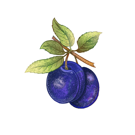 Plum. Realistic hand drawing made with colored pencils. Vector illustration. Blue fruit, green leaf, branch isolated on white background. Plant for decorating food packaging, kitchen design. Vintage.
