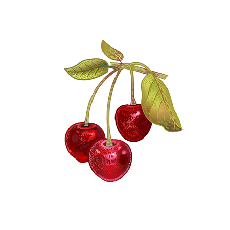 Cherry. Realistic hand drawing made with colored pencils. Vector illustration. Red fruit, green leaf, branch isolated on white background. Plant for decorating food packaging, kitchen design. Vintage.