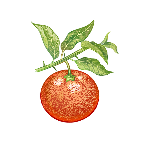 Mandarin. Realistic hand drawing made with colored pencils. Vector illustration. Red fruit, green leaf, branch isolated on white background. Vintage plant for decorating food packaging, kitchen design Illustration