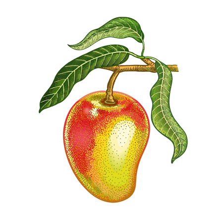 Mango. Realistic hand drawing made with colored pencils. Vector illustration. Red fruit, green leaf, branch isolated on white background. Plant for decorating food packaging, kitchen design. Vintage. Vettoriali
