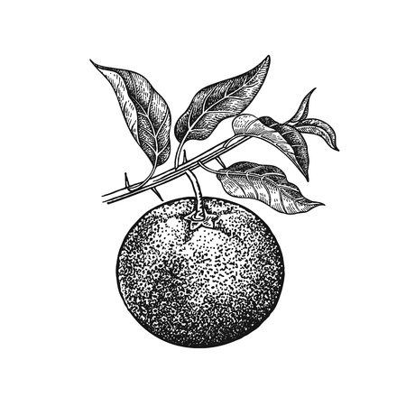 Mandarin. Realistic vector illustration plant. Hand drawing fruit, leaf, branch isolated on white background. Decoration products for health and beauty. Vintage black and white engraving