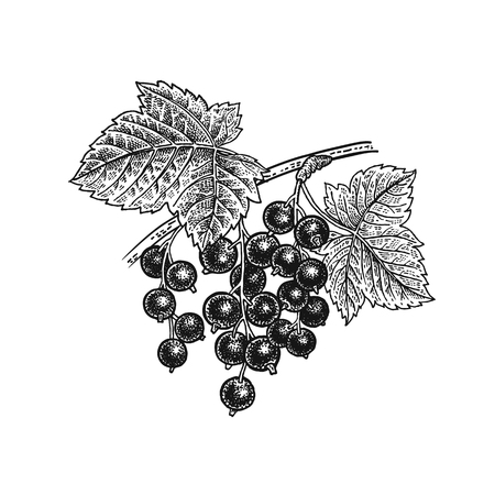 Black currant berries. Realistic vector illustration plant. Hand drawing. Fruit, leaf, branch isolated on white background. Çizim