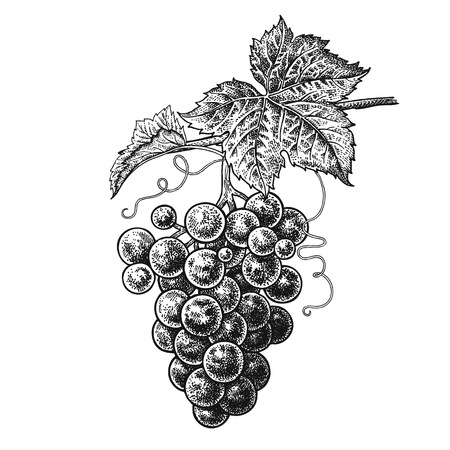 Grapes. Realistic vector illustration plant. Hand drawing berries. Fruit, leaf, branch isolated on white background. 向量圖像