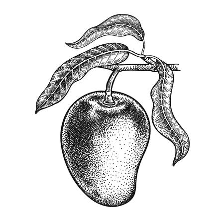 망고. 현실적인 벡터 그림 공장입니다. 손 과일, 잎, 흰색 배경에 고립 된 분기 그리기. 건강과 아름다움을위한 장식 제품. 빈티지 흑백 조각