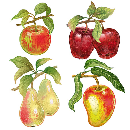 Berries and fruits set. Realistic hand drawing made with colored pencils. Red apples, pears, mango isolated on white background. Vintage. Plant for decoration food packaging, kitchen design.
