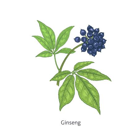 Ginseng sibérien coloré. Herbes et plantes médicales Isolé sur la série de fond blanc. Illustration vectorielle Croquis d'art. Dessin à la main objet de la nature. Style de gravure vintage.