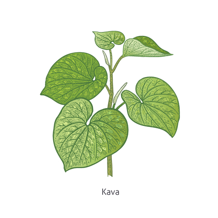 Kava kleurrijk. Medische kruiden en planten geïsoleerd op een witte achtergrond-serie. Vector illustratie. Kunst schets. Handtekening object van de natuur. Vintage gravure stijl.