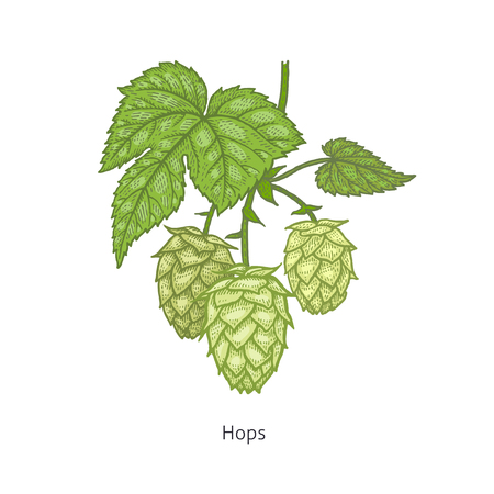Hops plant colorful. Medical herbs and plants Isolated on white background series. Vector illustration. Art sketch. Hand drawing object of nature. Vintage engraving style.