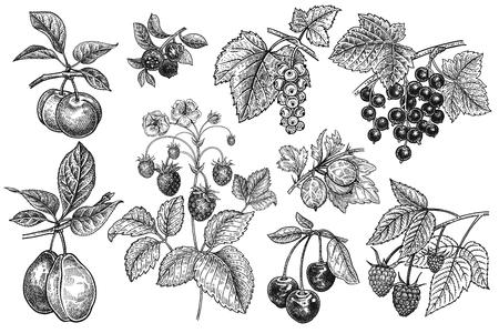 Fruit en bessen instellen. Pruimen, bosbessen, aardbeien, kruisbessen, krenten, kersen, frambozen geïsoleerd op een witte achtergrond. Handtekening realistisch. Vintage gravure. Zwart en wit.