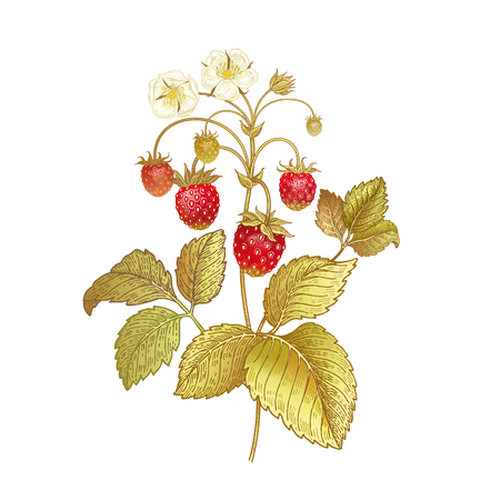 Strawberries. Realistic color vector illustration plant. Hand drawing berries. Red fruit, green leaf, branch isolated on white background. Decoration products for health and beauty. Vintage.
