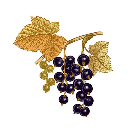Black currant berries. Realistic color vector illustration plant. Hand drawing. Fruit, leaf, branch isolated on white background. Decoration products for health and beauty. Vintage.