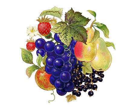 Frutas y bayas. Decoración con uvas, peras, grosella negra, manzana y fresas en un fondo blanco. Ilustración realista del arte. Vendimia. Dibujo a mano. Diseño de cocina. Foto de archivo - 85695258