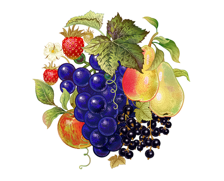 Fruits and berries. Decoration with grapes, pears, black currant, apple and strawberries on a white background. Realistic vector illustration art. Vintage. Hand drawing. Kitchen design.