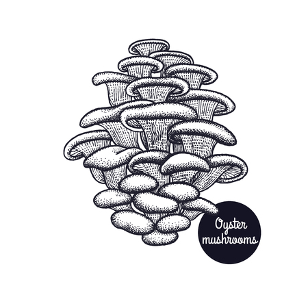 Oyster mushrooms. Hand drawing. Style Vintage engraving. Vector illustration art. Black and white. Isolated objects of nature. Cooking food design for menu, store signs, markets.