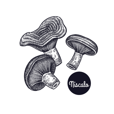 Niscalo mushrooms. Hand drawing. Style Vintage engraving. Vector illustration art. Black and white. Isolated objects of nature. Cooking food design for menu, store signs, markets. Vector Illustration