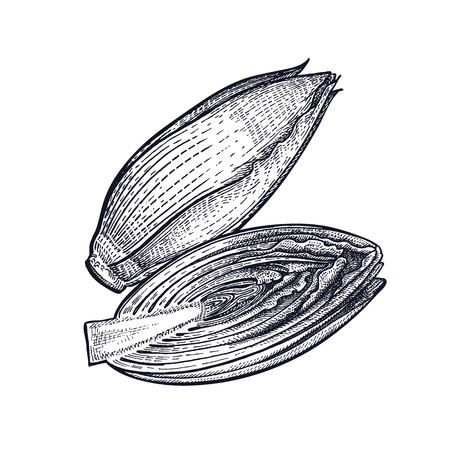 Chicory. Plant isolated. Vegetarian food for design menu, recipes, decoration kitchen items. White and black. Vector illustration art. Hand drawing of vegetables. Vintage engraving.