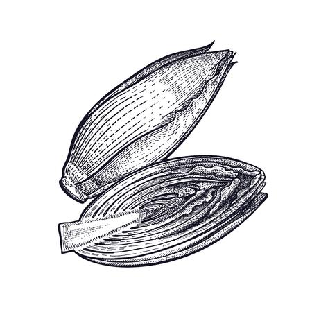 Cichorei. Plant geïsoleerd. Vegetarisch eten voor designmenu, recepten, decoratie-keukenartikelen. Wit en zwart. Vector illustratie kunst. Handtekening van groenten. Vintage gravure. Stock Illustratie