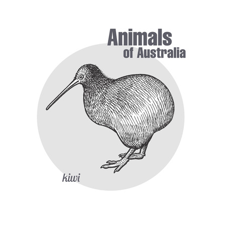 Kiwi bird hand drawing. Animals of Australia series. Vintage engraving style. Vector illustration art. Black and white. Object of nature naturalistic sketch.