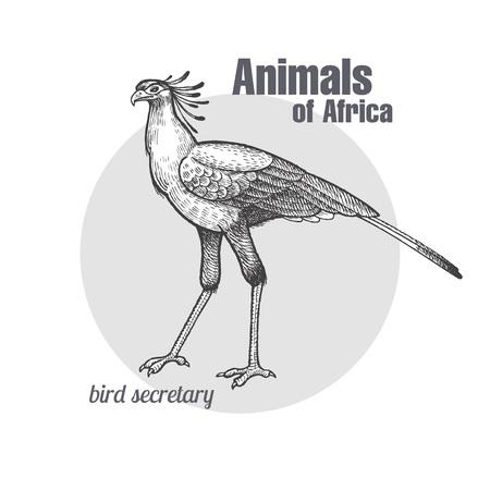 秘書の鳥手描き。アフリカ シリーズの動物。ビンテージ彫刻スタイル。ベクトル イラスト。黒と白。自然自然主義的なスケッチのオブジェクト。