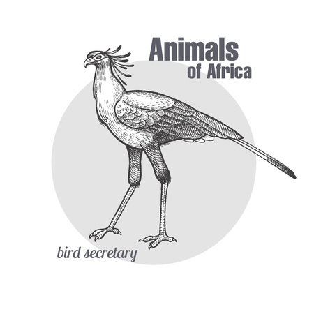 Secretary bird hand drawing. Animals of Africa series. Vintage engraving style. Vector illustration art. Black and white. Object of nature naturalistic sketch.
