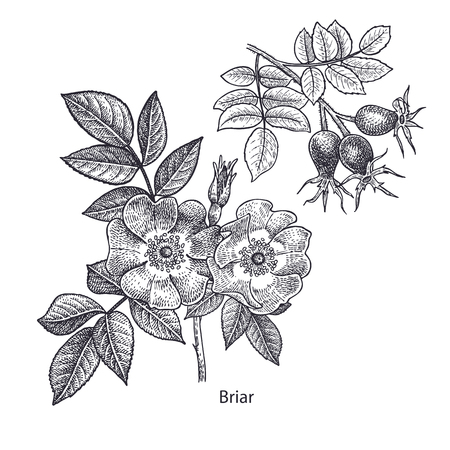 Dog rose flower and briar. Medical herbs and plants Isolated on white background series. Vector illustration. Art sketch. Hand drawing object of nature. Vintage engraving style. Black and white. Illustration