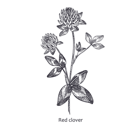 Red clover flower. Medical herbs and plants Isolated on white background series. Vector illustration. Art sketch. Hand drawing object of nature. Vintage engraving style. Black and white.