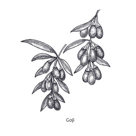 Goji berries. Medical herbs and plants Isolated on white background series. Vector illustration. Art sketch. Hand drawing object of nature. Vintage engraving style. Black and white. Stock Vector - 90230658