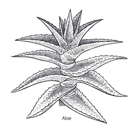 알로에 베라 식물. 의료 허브와 식물 격리 흰색 배경에 시리즈. 벡터 일러스트 레이 션. 예술 스케치. 손을 자연의 드로잉 개체입니다. 빈티지 조각 스