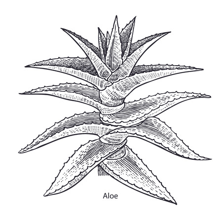Aloe vera plant. Medical herbs and plants Isolated on white background series. Vector illustration. Art sketch. Hand drawing object of nature. Vintage engraving style. Black and white. Ilustracja