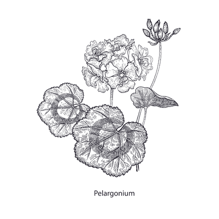 Geranium or pelargonium flower. Medical herbs and plants Isolated on white background series. Vector illustration. Art sketch. Hand drawing object of nature. Vintage engraving style. Black and white.