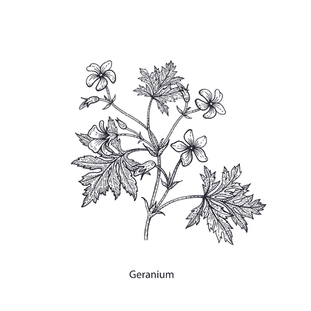 Geranium flower. Medical herbs and plants Isolated on white background series. Vector illustration. Art sketch. Hand drawing object of nature. Vintage engraving style. Black and white.