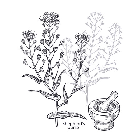 Realistic medical plant shepherd's purse, mortar and pestle. Vintage engraving. Vector illustration art. Black and white. Hand drawn of flower. Alternative medicine series. Vettoriali