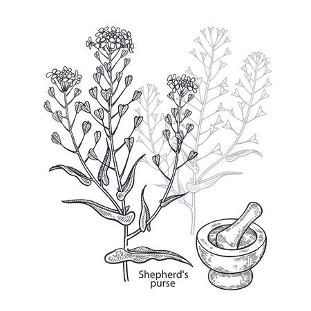 Realistic medical plant shepherd's purse, mortar and pestle. Vintage engraving. Vector illustration art. Black and white. Hand drawn of flower. Alternative medicine series. Illustration