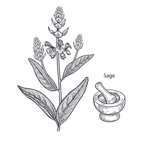 現実的な医療植物セージ、乳鉢と乳棒。ビンテージの彫刻。ベクトル イラスト。黒と白。手描き。代替医療シリーズ。