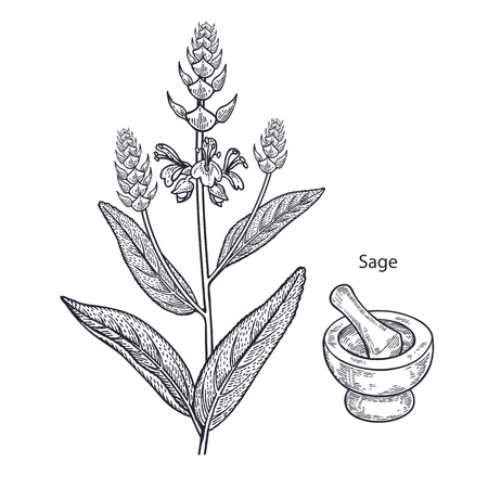 Realistic medical plant sage, mortar and pestle. Vintage engraving. Vector illustration art. Black and white. Hand drawn. Alternative medicine series. Ilustração
