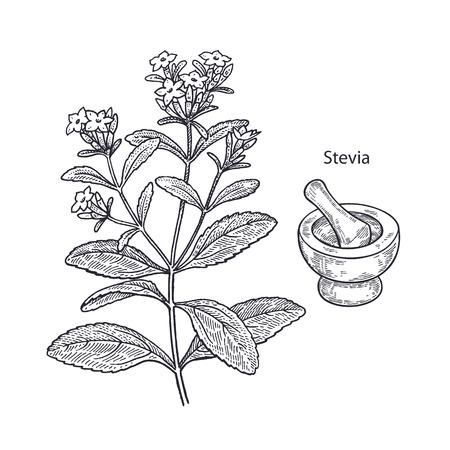 Realistische medische plant stevia, vijzel en stamper. Vintage gravure Vector illustratie kunst. Zwart en wit. Hand getekend van bloem. Alternatieve geneeskunde serie.