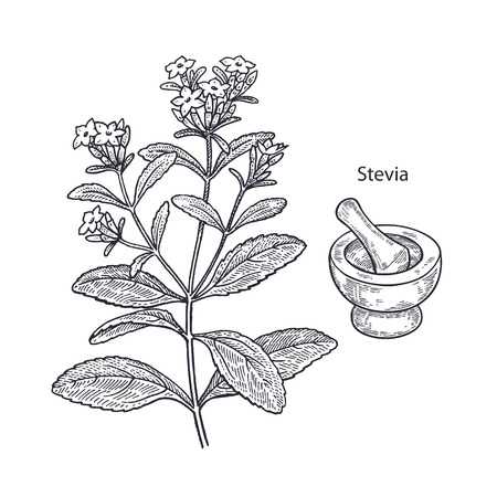 Realistic medical plant stevia, mortar and pestle. Vintage engraving. Vector illustration art. Black and white. Hand drawn of flower. Alternative medicine series.