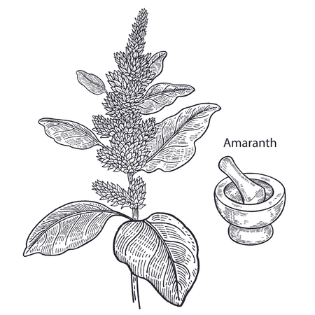 Realistic medical plant amaranth, mortar and pestle. Vintage engraving. Vector illustration art. Black and white. Hand drawn of flower. Alternative medicine series.