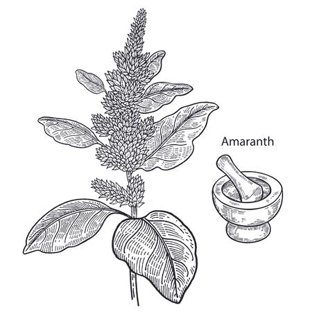 Realistic medical plant amaranth, mortar and pestle. Vintage engraving. Vector illustration art. Black and white. Hand drawn of flower. Alternative medicine series.