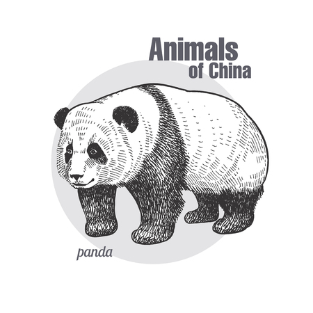 Bear panda hand drawing. Animals of China series. Vintage engraving style. Vector art illustration. Black graphic isolate on white background. The object of a naturalistic sketch.