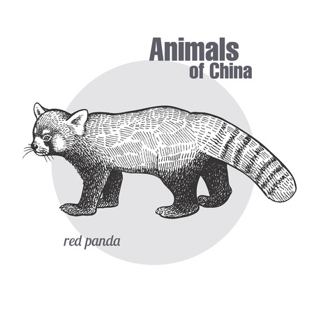 Bear red panda hand drawing. Animals of China series. Vintage engraving style. Vector art illustration. Black graphic isolate on white background. The object of a naturalistic sketch.