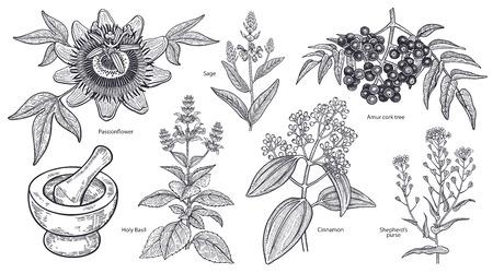 孤立した医療植物、花やハーブのセット。アムールコルクの木、シナモン、羊飼いの財布、聖なるバジル、セージ、パッションフラワー、モルタル