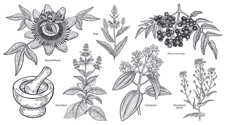 Set of isolated medical plants, flowers and herbs. Amur cork tree, cinnamon, shepherd's purse, holy basil, sage, passionflower, mortar, pestle. Vintage engraving. Vector illustration. Black and white. Vettoriali